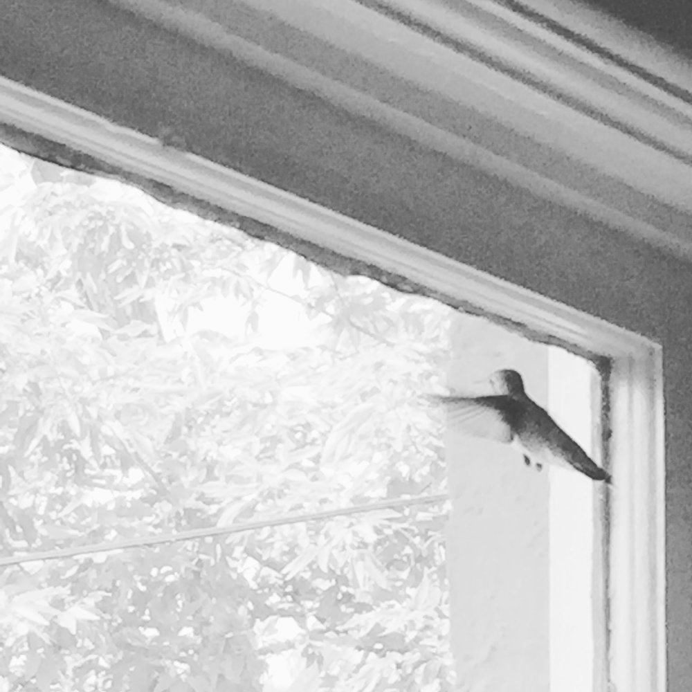 Black-chinned hummingbird regarding itself in the window