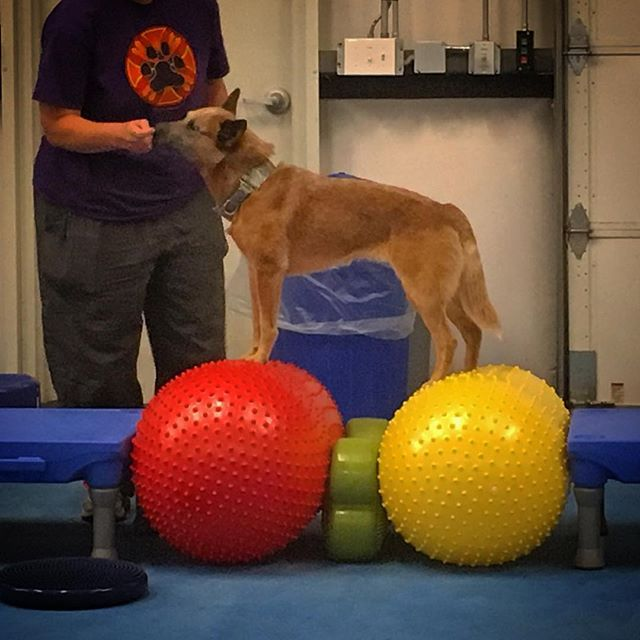 You can teach old dogs new tricks! 🐕 Learning lots about canine fitness and exercise equipment at @fitpawsusa #moorepetmobility #fitpawsusa #caninefitness #rehabvets #vetrehab #caninefitnesstrainer #dogtrainerwannabe