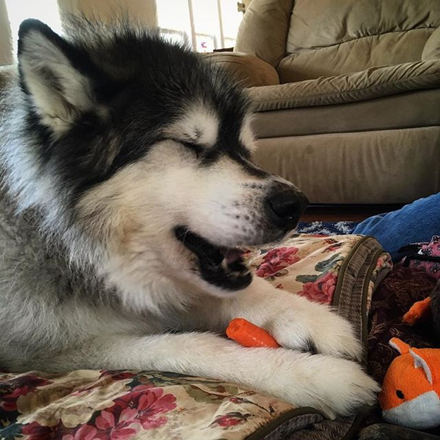 Kanock snacking healthy this holiday season during his acupuncture treatment #exampletousall #moorepetmobility #vetrehab #veterinaryacupuncture #rehabvets #malamutesofinstagram
