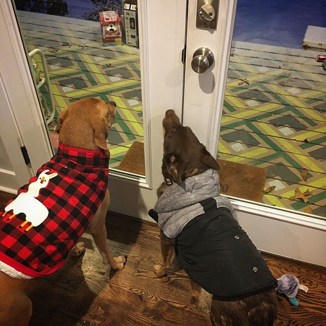 These guys aren't put out by this snow 🐕❄️❄️❄️ #bundlethemup #southernsnow #bombcyclone2018 #moorepetmobility #dogsinjackets