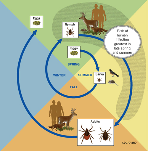 Life cycle of ticks. Image credit: CDC.