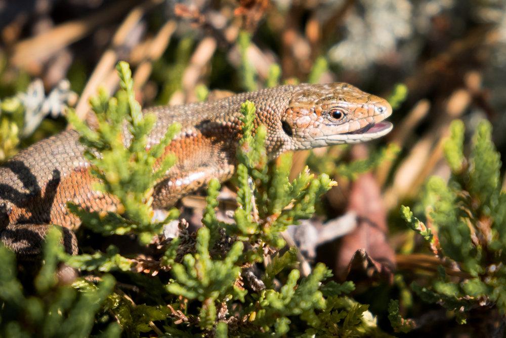 Zootoca vivipara, the common lizard. Credit: Ville.fi