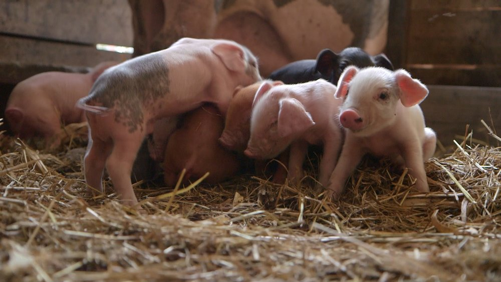 Day-old piglets on Russ's farm.
