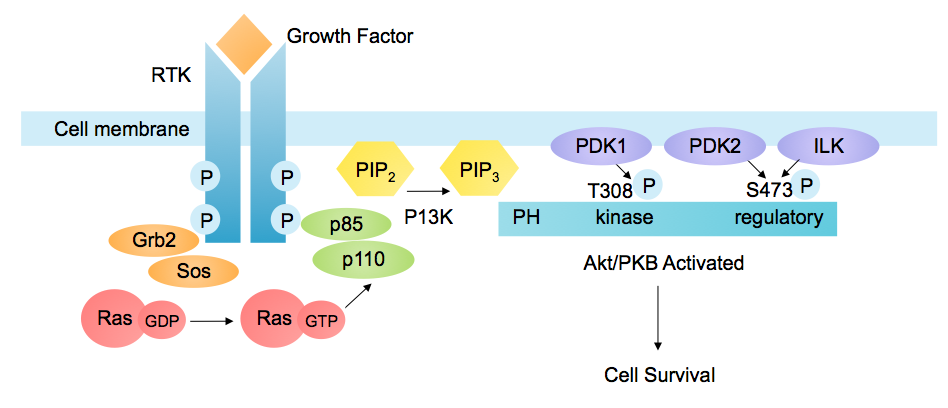 A representation of the process that triggers the PI3K pathway. Credit: Wikipedia.
