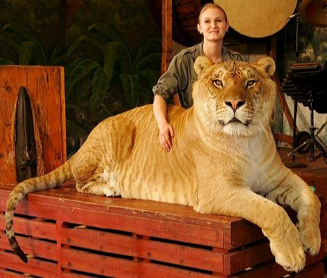 Real ligers often suffer from genetic defects, like excessive growth. Credit: Wikimedia.