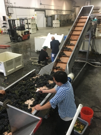 ...Working the line with the Siduri Harvest Crew '16...