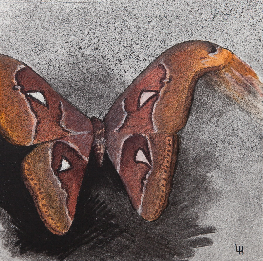 25. Attacus atlas.jpg