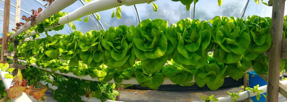 lettuce pana.jpg