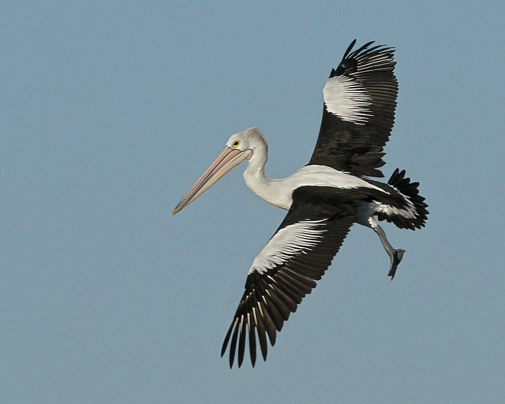 Pelican In Flight by Joan Cheesman