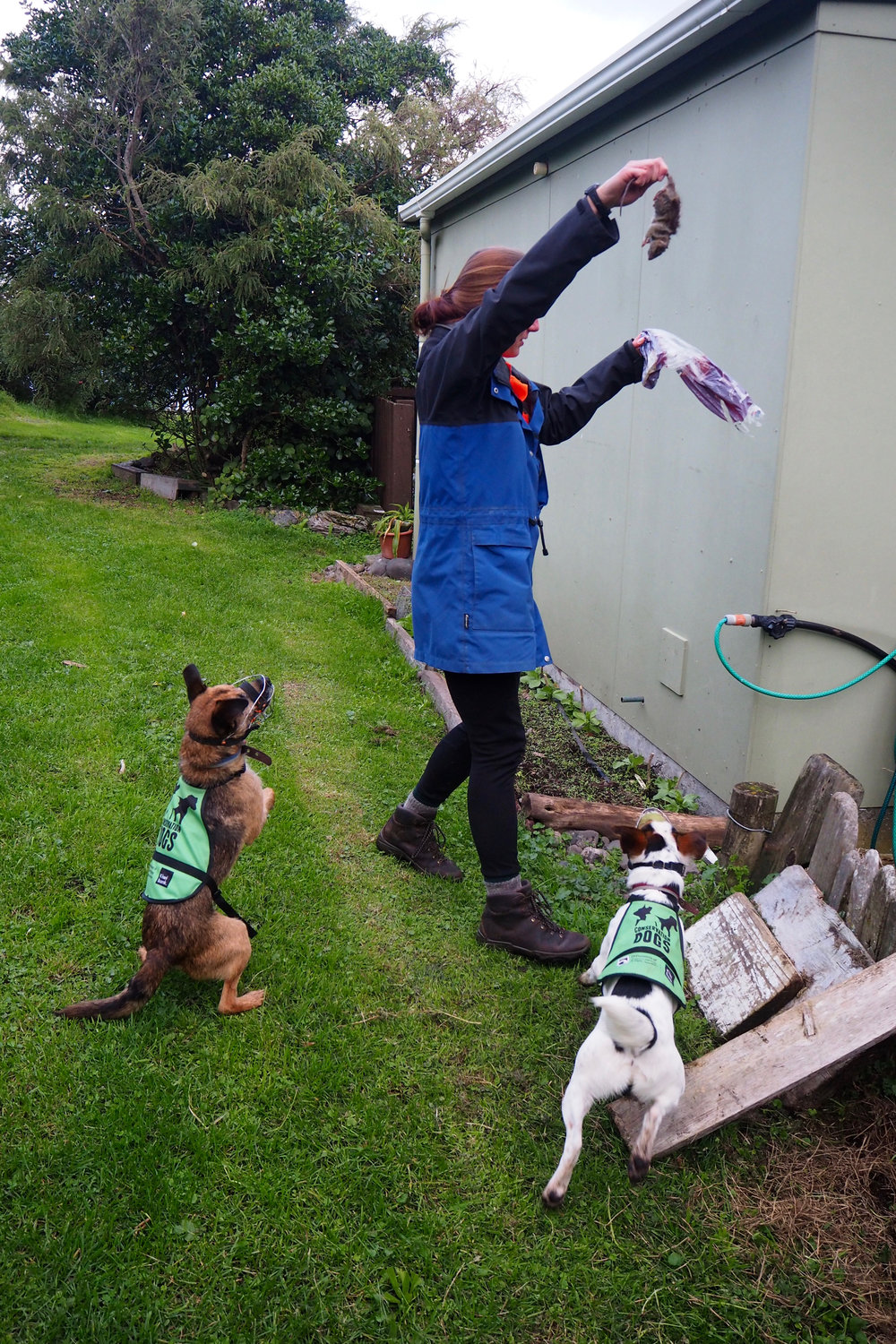 Image: Rodent detection dogs Bail and Odin excited to find a dead rat in a demonstration by handler Leona.