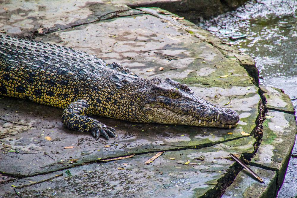 rangoon yangon aligator farm burma 1-2.jpg