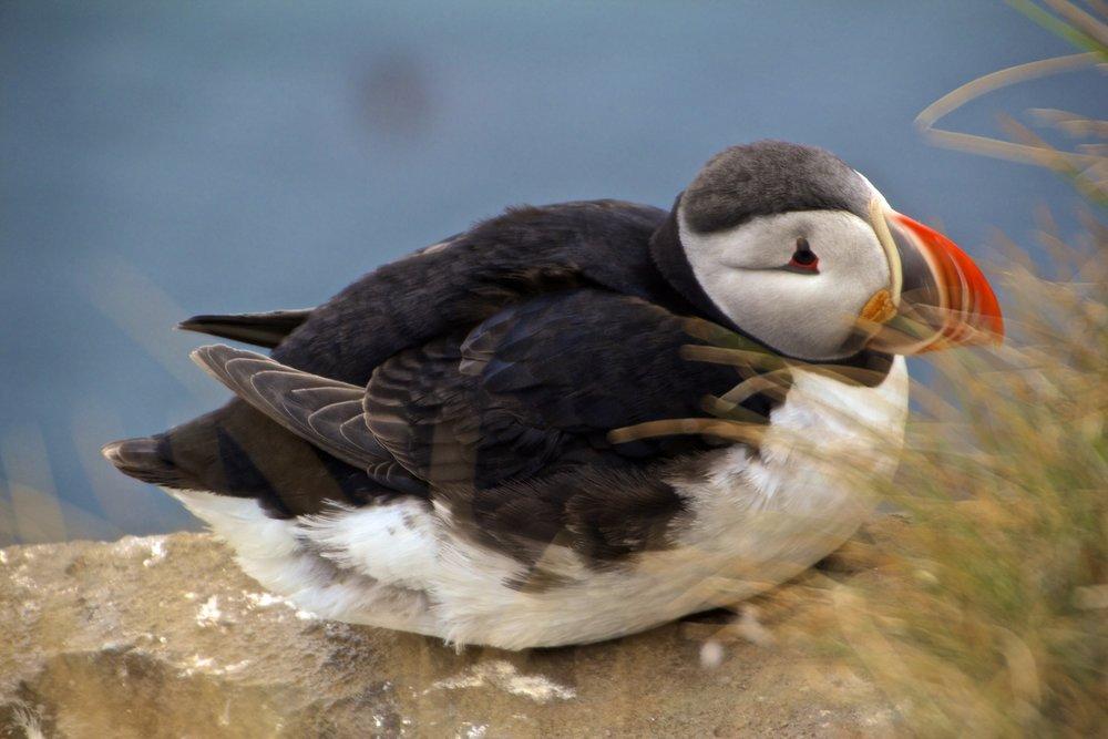arctic-puffins-latrabjarg-iceland-13
