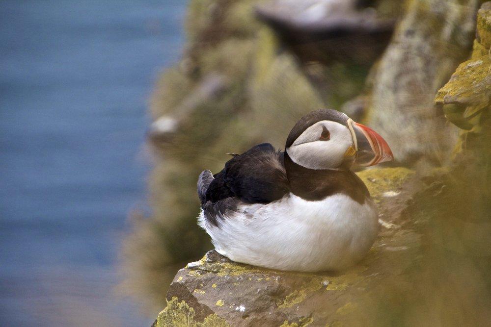 arctic-puffins-latrabjarg-iceland-4