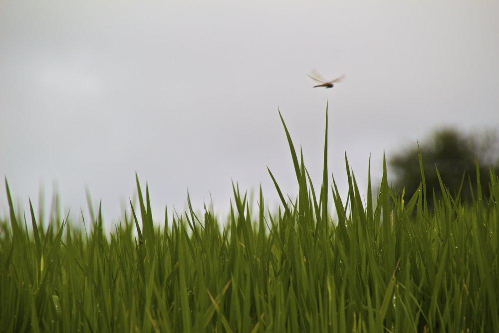 sa pa lao cai vietnam rice paddies 6.jpg