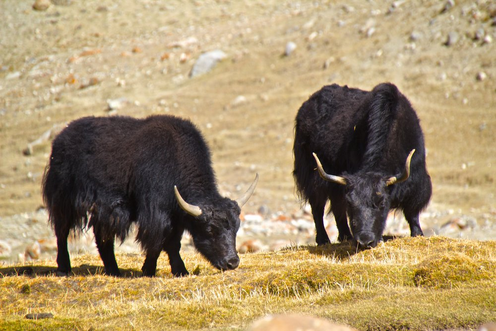 khardungla pass ladakh kashmir india himalayas photography yaks 1.jpg