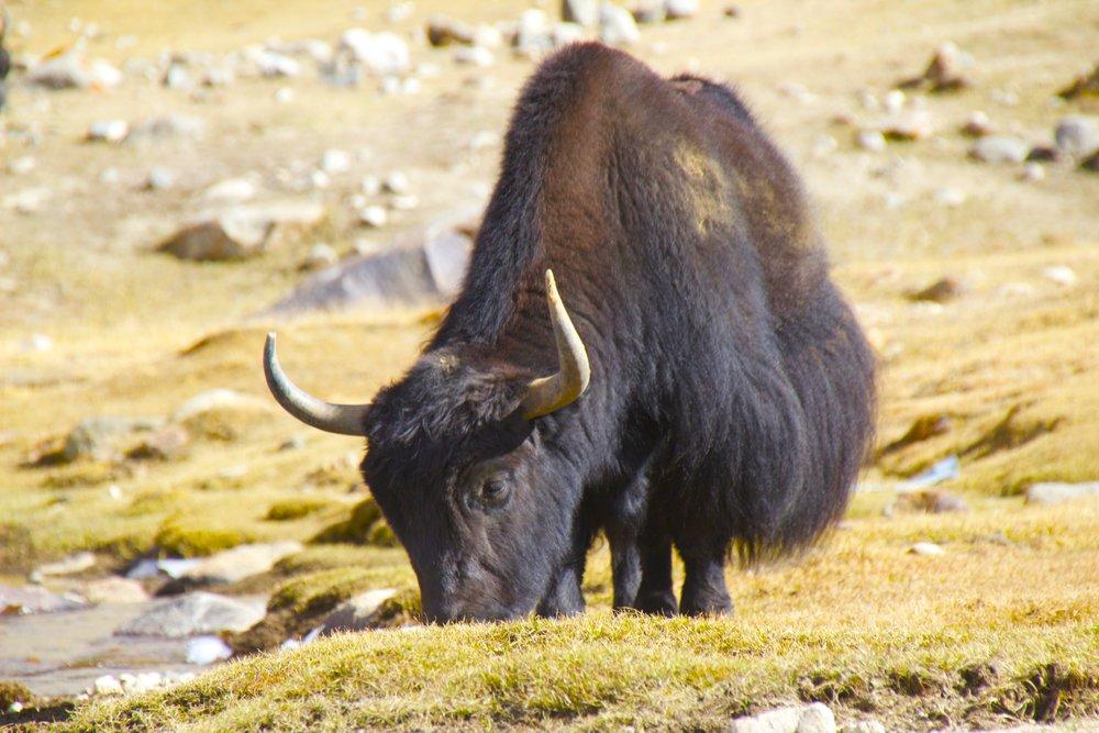 khardungla pass ladakh kashmir india himalayas photography yaks 2.jpg