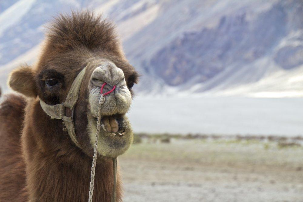 bactrian camels nubra valley ladakh 3.jpg