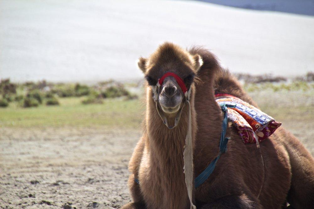 bactrian camels nubra valley ladakh 8.jpg