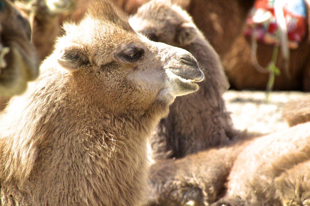 bactrian camels nubra valley ladakh 9.jpg
