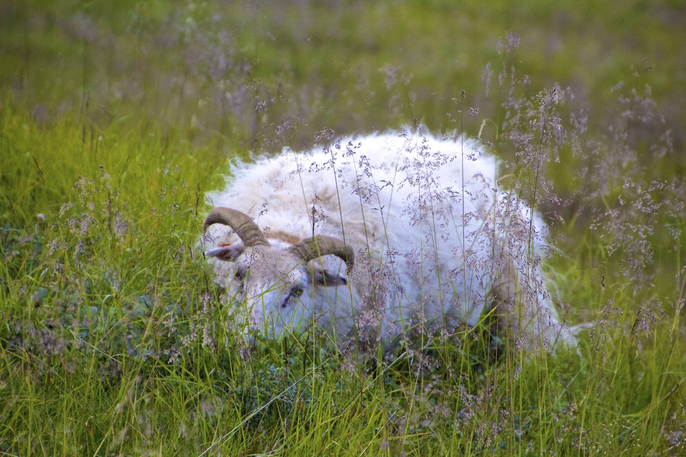 north iceland sheep 1.jpg