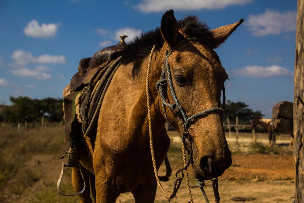 horses viñales cuba-1-3.jpg