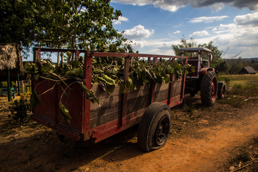 tobacco agriculture viñales cuba-1-3.jpg