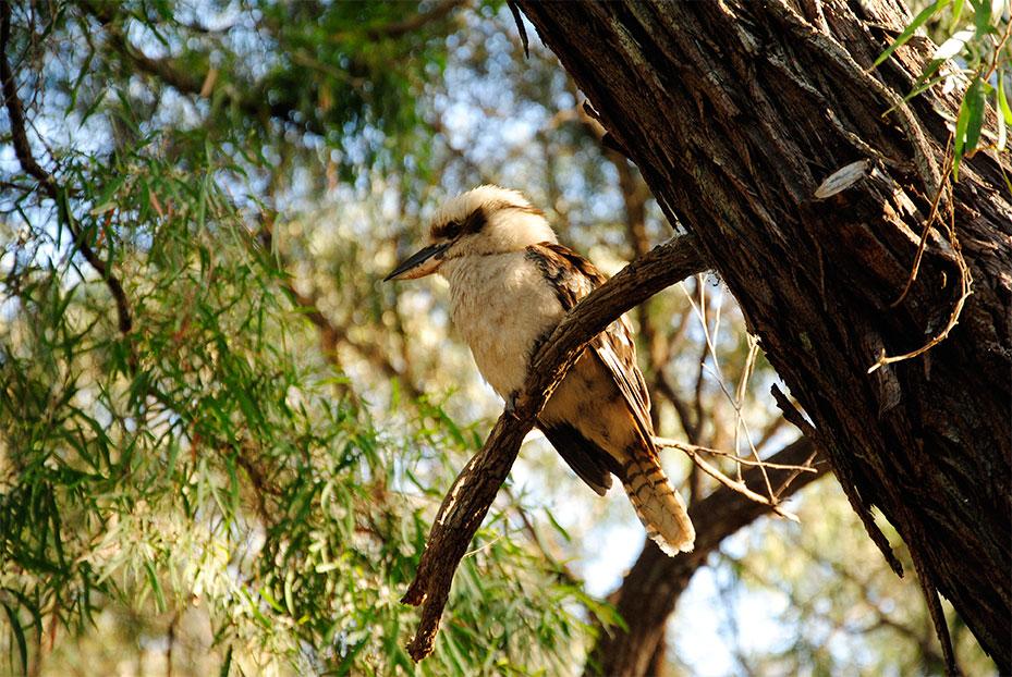 Kookaburra-in-a-Peppermint-Tree.jpg