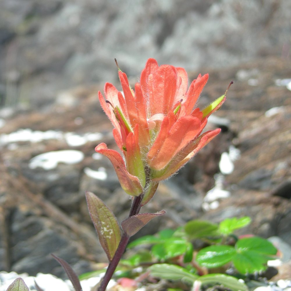 Coastal wild flower