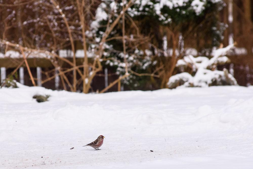 09.02.2018. pirmo reizi dārzā Parastais ķeģis. Common redpoll bird first time in garden.