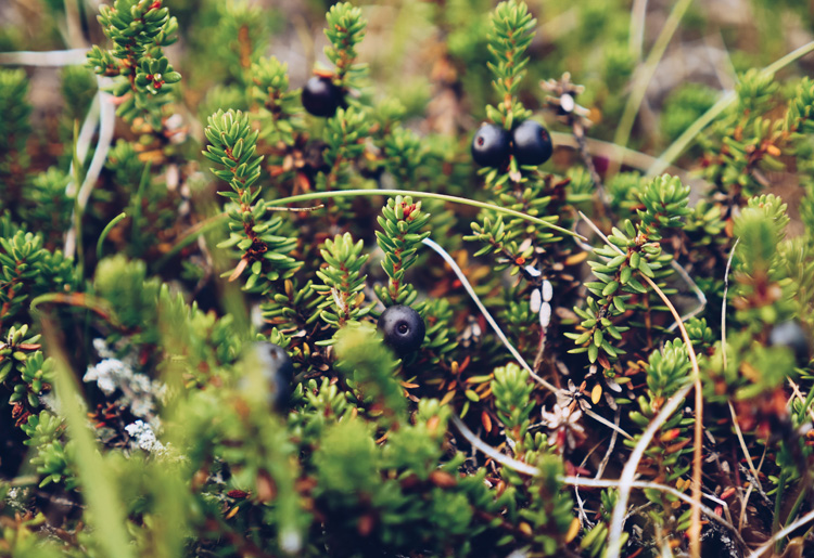 iceland.crowberry.jpg