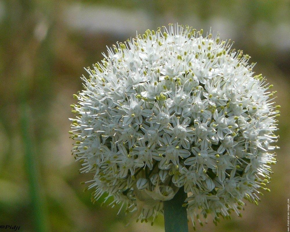 httpwww-fond-ecran-image-comgalerie-membre-fleur-allium-fleur-d-oignonjpg-php.jpg