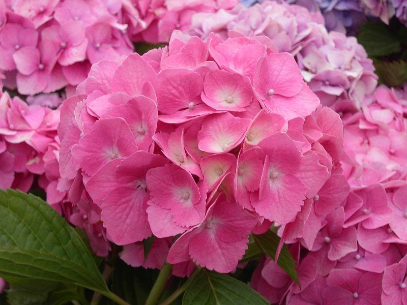 hortensia-altona.jpg