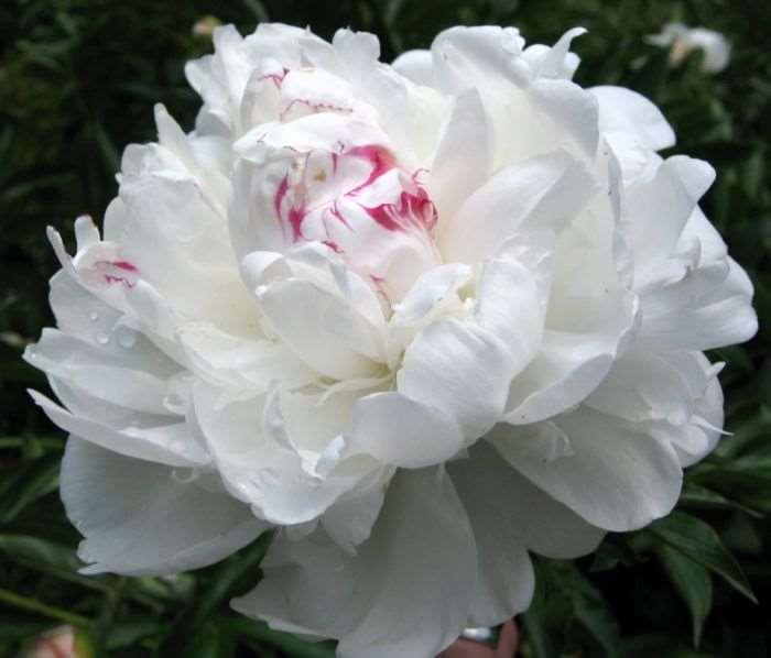 peonia-blanca-con-matiz-magenta.jpg