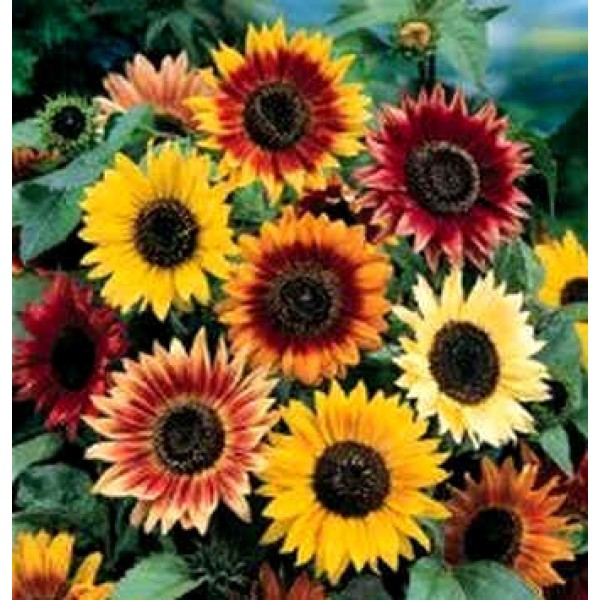 Graines_Helianthus_Autumn_Beauty_Seeds_Graines_Plantes_Tournesol.jpg