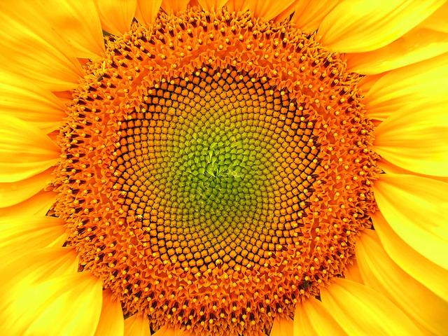 diaporama-spirales-vegetales-tournesol.jpg