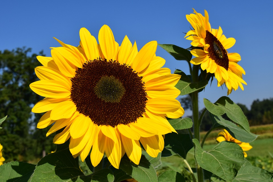 sunflower-1627188_960_720.jpg