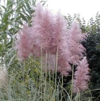 graminee-herbe-de-la-pampa-rose.jpg
