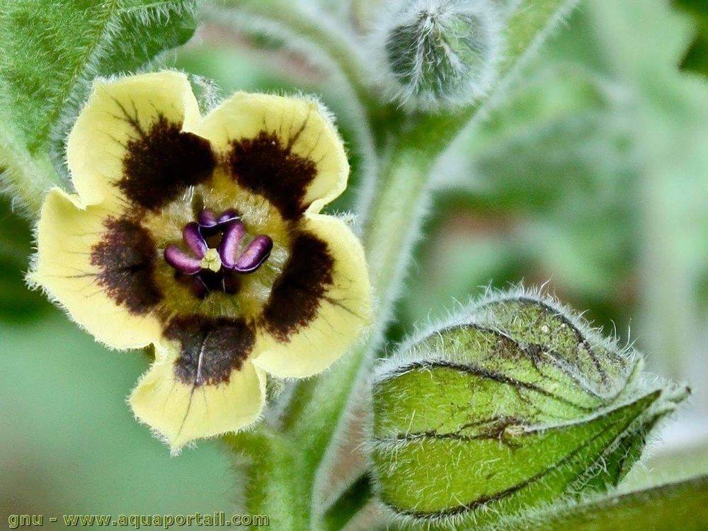 fleur-coqueret-du-perou-physalis-peruviana-flower.jpg