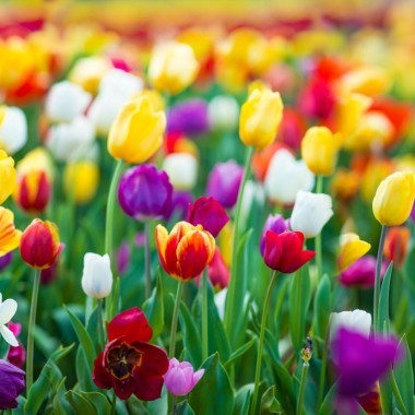 98553-tulipes-triomphe-en-melange_diapo_17.jpg