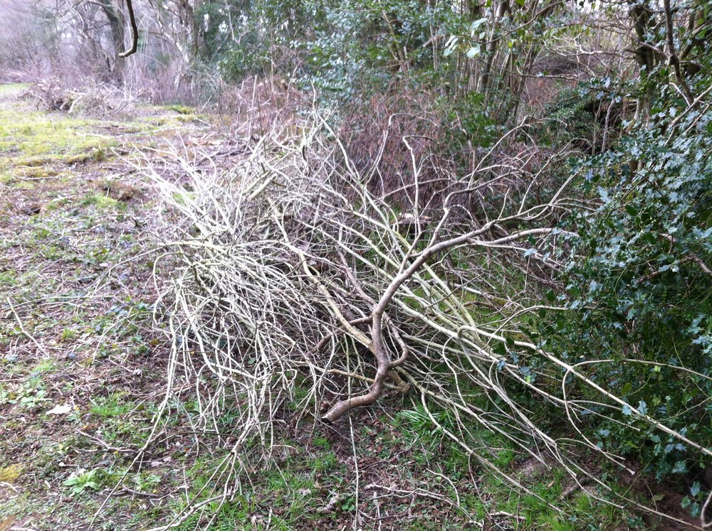 Part of the hazel coppicing - my friend Matt Cutts worked with me on this vital piece of work. The stools have been protected from deer grazing with piles of brush - this has been highly successful. 1 summer on new growth is emerging from each stool.