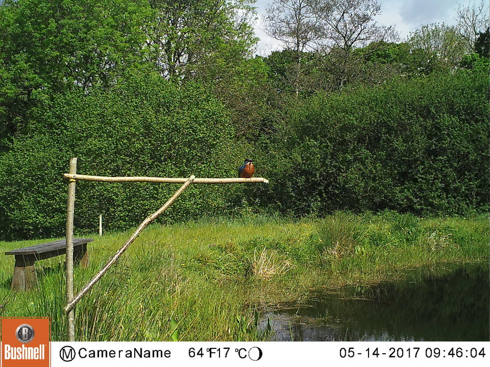 This (male?) Kingfisher is resident this spring (2017). The hunting perches are encouraging this magnificent bird to visit more frequently. While there are no fish in the lake at UWNR, there is an abundance of other prey species - toad tadpoles and various invertebrates are likely prey.