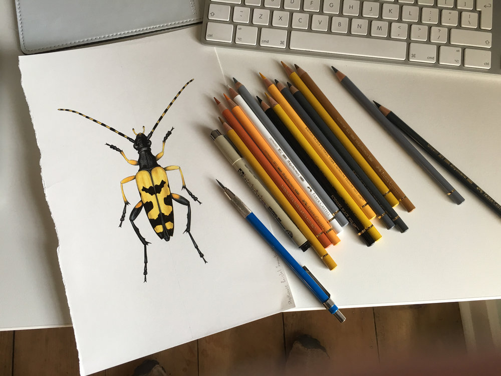 One of Marc's exquisite drawings....this is a Longhorn Beetle, Rutpela maculata.
