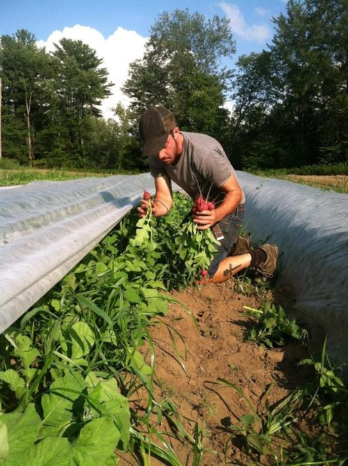 Eli harvests radishes in 2015 (photo cred: Eli Hersh)
