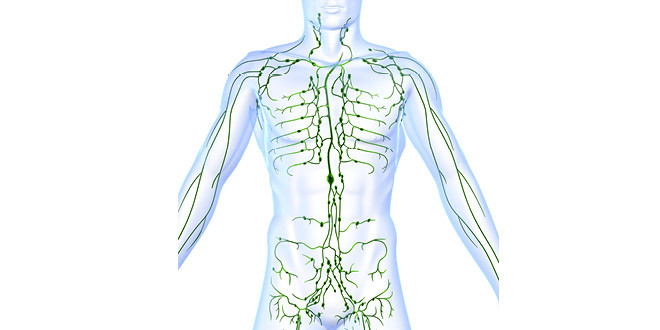 You have 50% more lymphatic fluid than blood in your body!