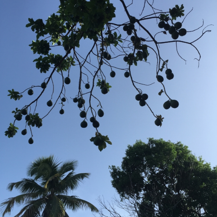 Morning run with blue skies, avocados, and palm trees in Puerto Rico.