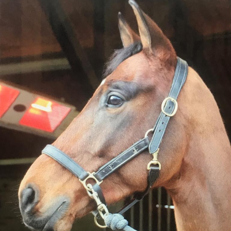 Independer - JWB (JB)2013Bay Gelding