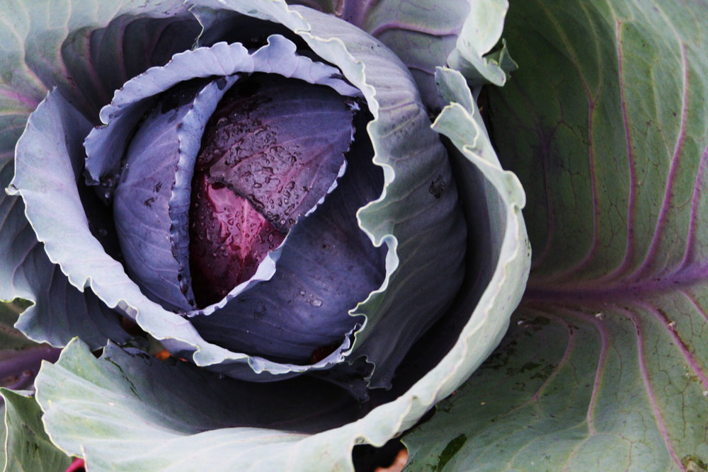 winter-cabbage.jpg