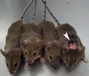 How to tell if a mouse has OCD-like traits? Look at it's grooming. Arrow points to an over-groomed mouse. Source:http://sfari.org/