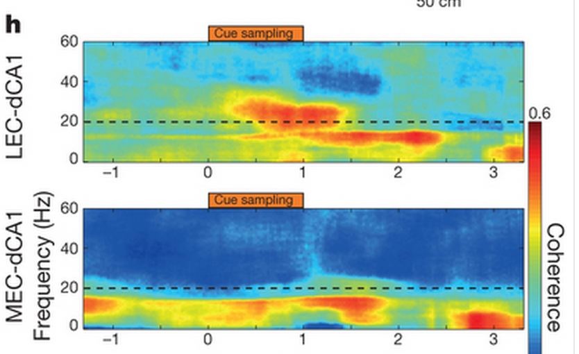 Top: Synchrony at 20Hz (dashed line) between LEC and dCA1 increases (red patches) as the rats start sniffing the odour cues. Bottom: MEC and dCA1 on the other hand don't seem to talk to each other.