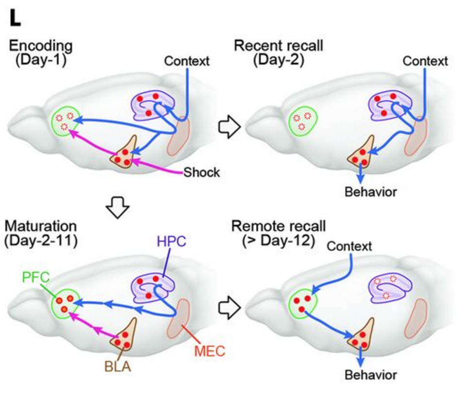 Brain hurtin'? Me too! Here's a nifty summary from Fig 4 of the paper. The PFC engram forms during training based on inputs from the hippocampus (HPC) and amygdala (BLA). Recent recall only requires the connections between the hippocampus and amygdala. As the PFC engram matures (with some help from the hippocampus), the connection between the PFC and amygdala becomes more dominant in retrieving the memory.